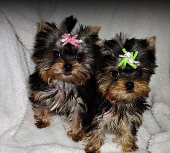Los cachorros de yorkshire terrier disponibles