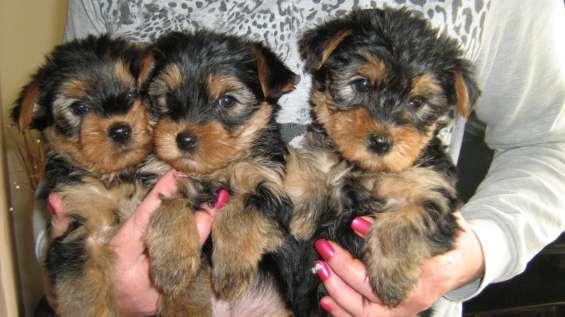 Yorkie cachorros machos y hembras