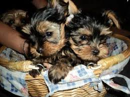 12 weeks old yorkie puppies for adoption