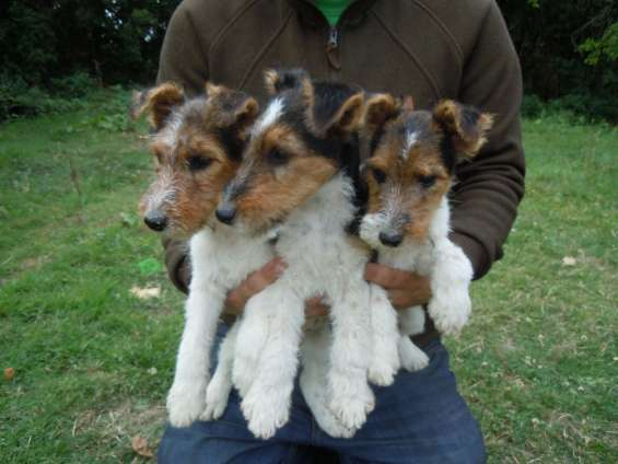 Chvh wire fox terrier cachorros listo