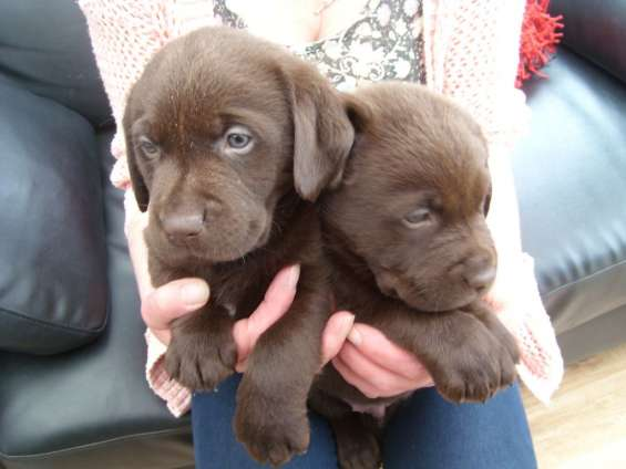 Labrador retriever cachorros de chocolate disponibles