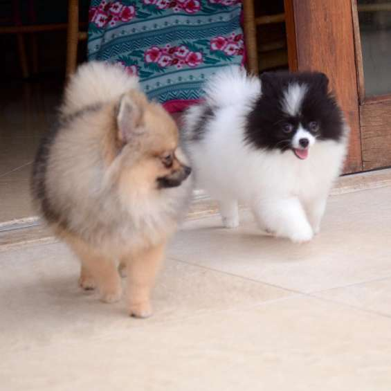 Hermosos cachorros de pomerania disponibles.